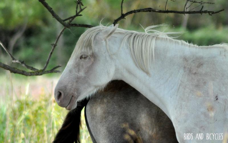 Cheval de Camargue
