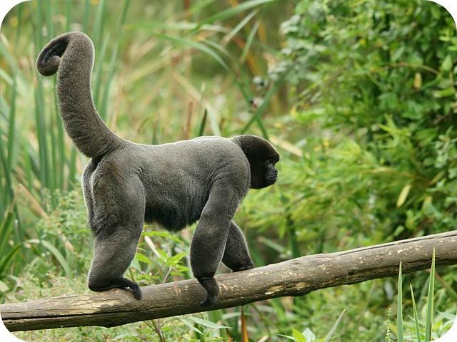 Bénévole auprès des singes laineux