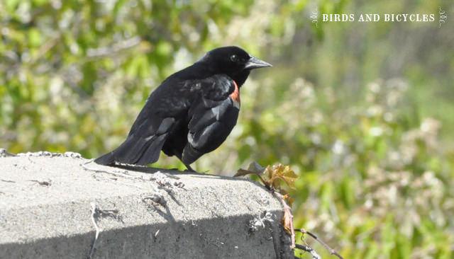 oiseaux du québec (4)