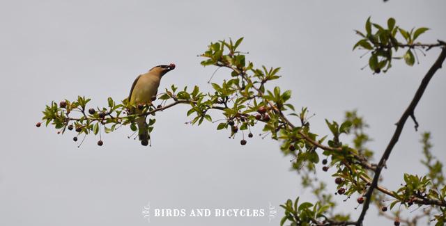 oiseaux du québec (7)