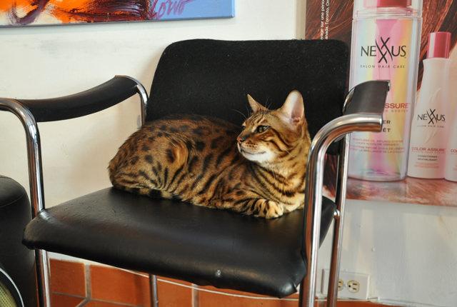 catvertising - le salon de coiffure à chats de montréal (3)