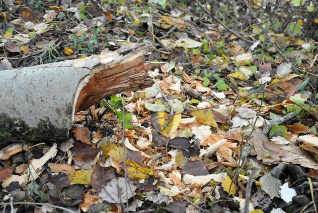 Des traces de castor dans la forêt de la Ramée