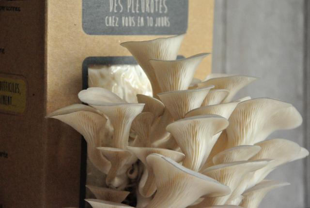Kit pour faire pousser des champignons