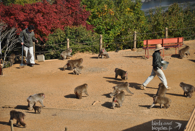 Montagne-aux-singes-Japon