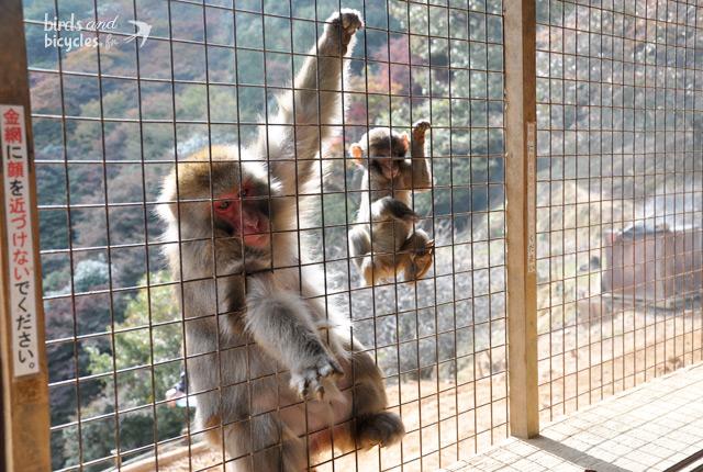 Parc aux singes de Kyoto