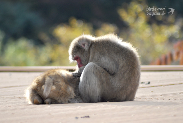 Visite du Monkey Park Iwatayama de Kyoto