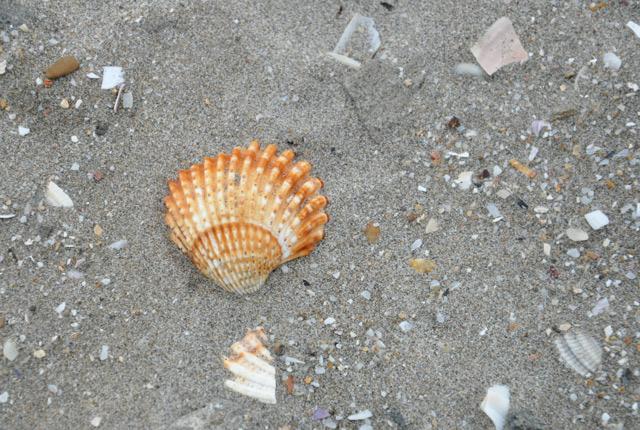 Coquillages sur la plage - balade nature à Palavas