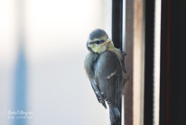 Un bébé mésange sur mon balcon