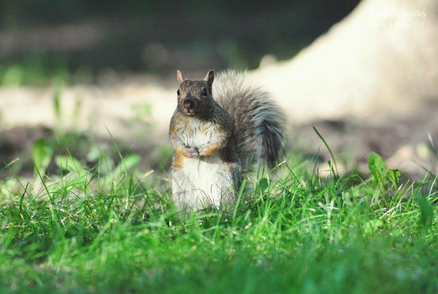 écureuil gris parc montréal