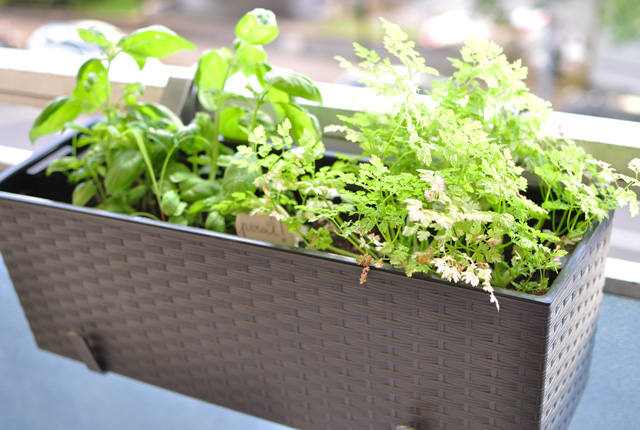 Plantations de balcon: le cerfeuil - Jardinage urbain!