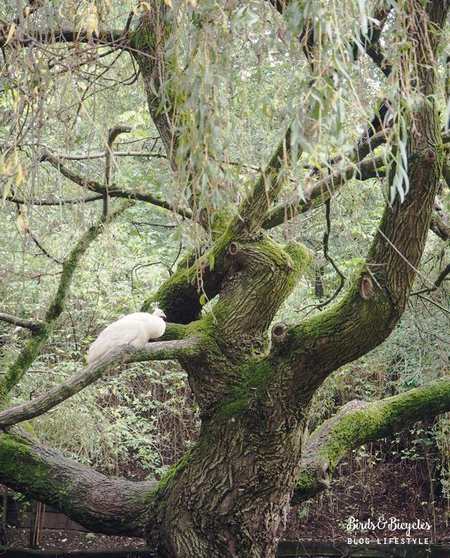 Paon blanc au Parc de la Pépiniere à Nancy