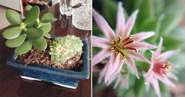Succulente en fleur !