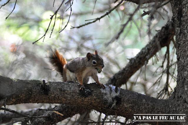 Écureuil roux canadien