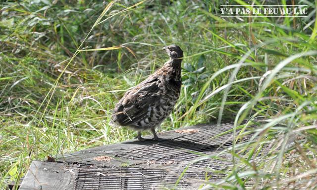 Saguenay: une poulette sorti du marais
