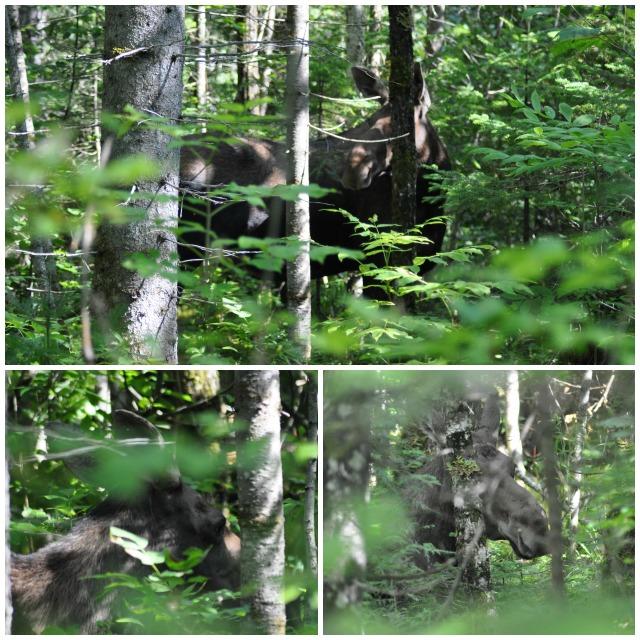 Un orignal aperçu entre les branches