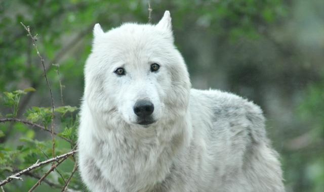Loup arctique - Credit-Yapaslefeuaulac