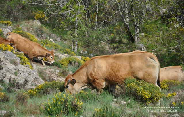Vaches-dans-les-Cévennes