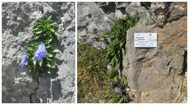 Fleurs dFleurs des montagnes suisseses montagnes suisses
