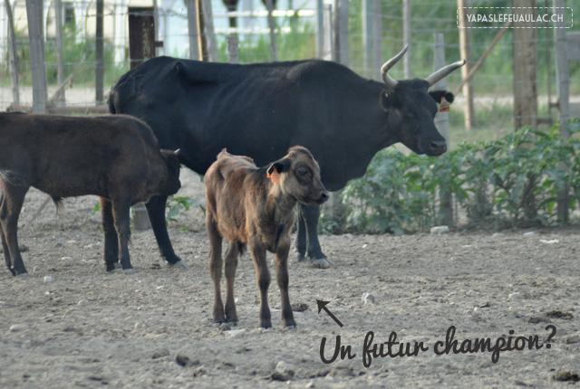 Un bébé taureau de Camargue