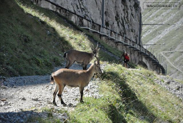 Bouquetins - montagnes suisses