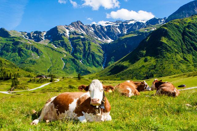 Symbole suisse: les vaches