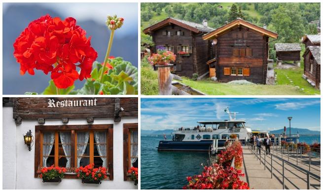 Géraniums: l'invasion de ces fleurs en Suisse
