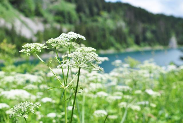Fleurs montagne suisse