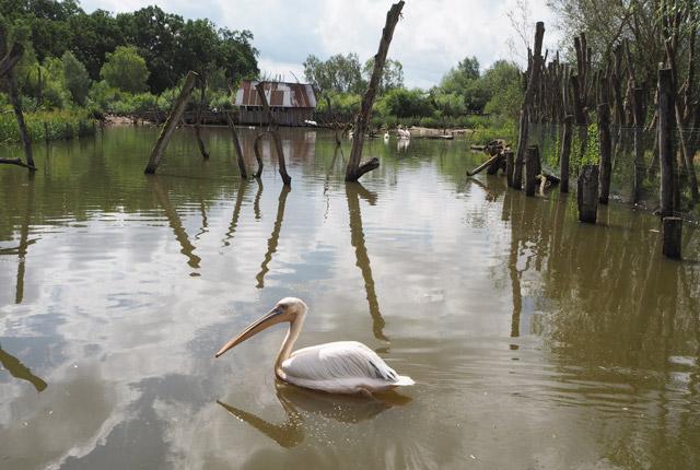 Pélican au zoo de Sainte Croix