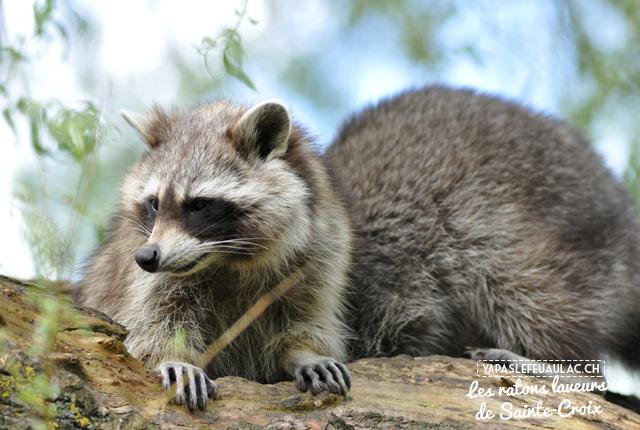 Visite du parc Sainte-Croix, un zoo magnifique en Lorraine! Ici, les ratons-laveurs espiègles...
