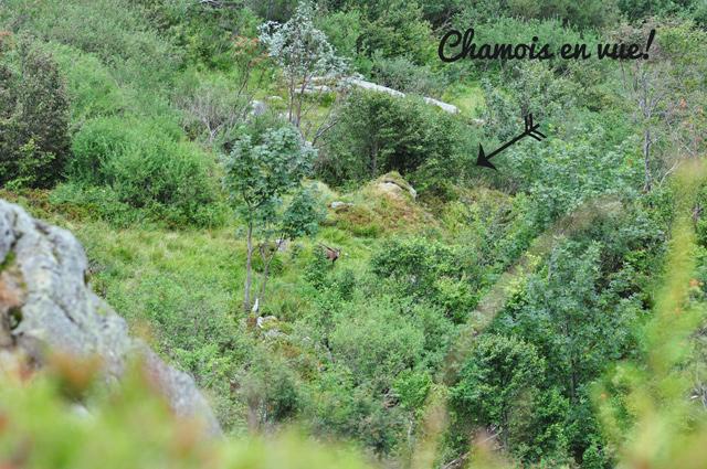 Chamois dans les Vosges!