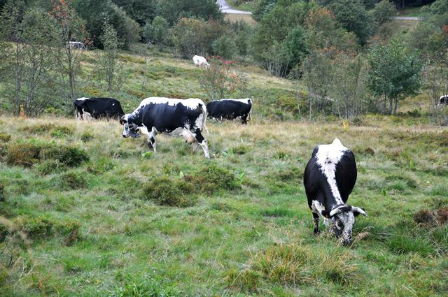 Les vaches vogsiennes - Crédit YPFL