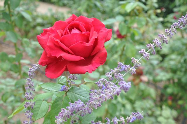 Des roses à l'abbaye de Fontfroide