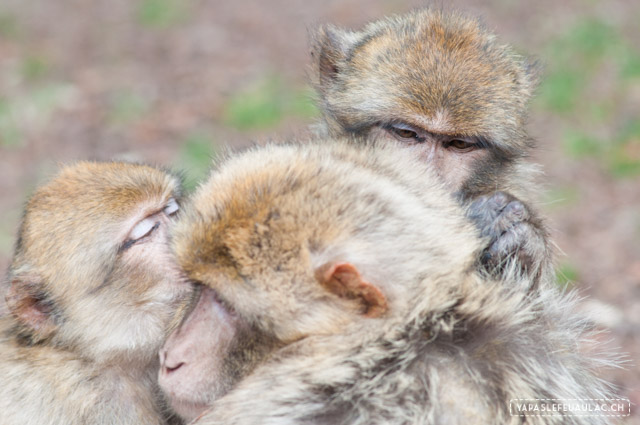 Que faire autour de la montagne des singes en Alsace pour un week-end?