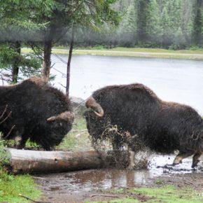 Bœuf musqué au Zoo de St Félicien au Lac St Jean