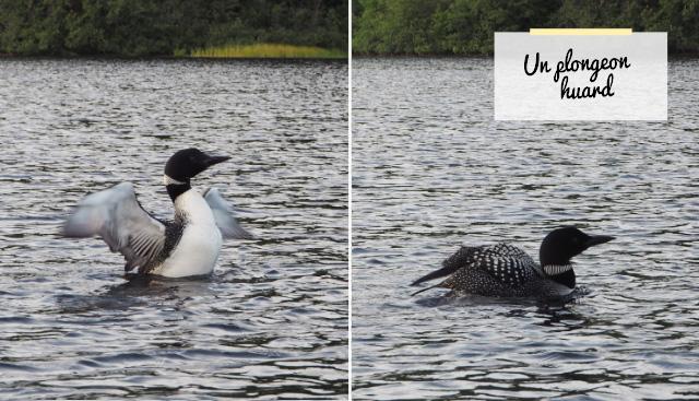 Plongeon huard, un canard emblématique de vacances au Québec dans la nature!