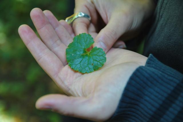 Plante comestible: aegopode