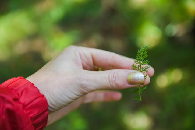 Achilée Millefeuille - Découverte de plantes comestibles dans la forêt