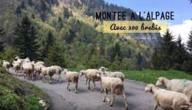 Montée à l'alpage avec des brebis au Pays d'Enhaut en Suisse
