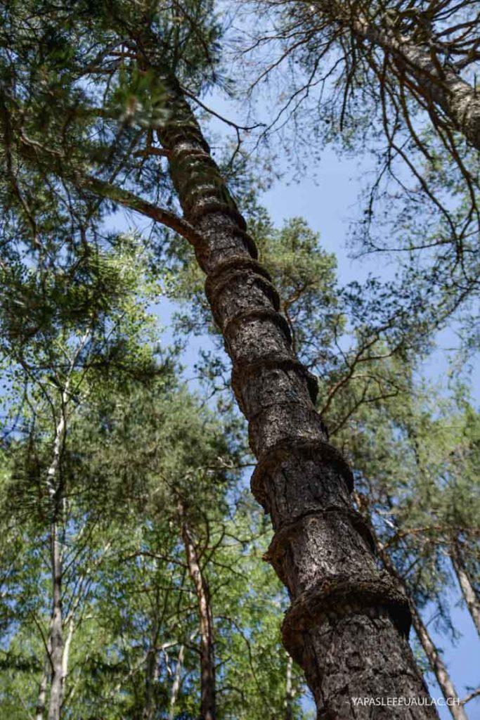 Curiosité, les pins à anneaux - Valais Suisse