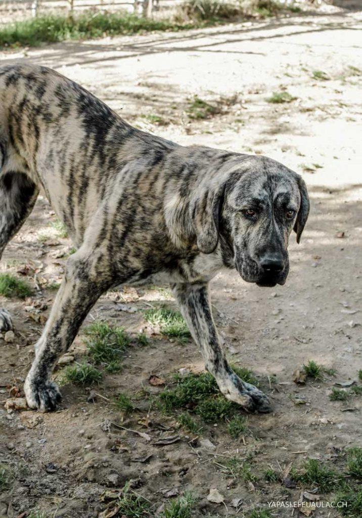 chiens de berger d'Asie centrale - Des chiens impressionnants par leur taille!