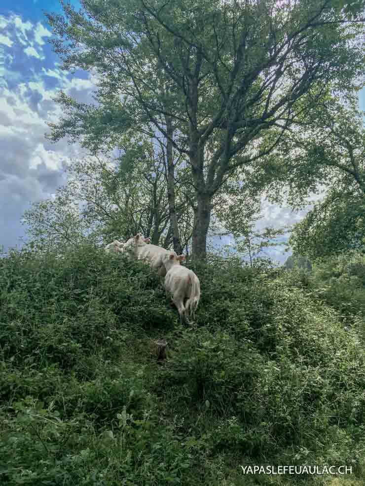 Des vaches en Alsace - randonnée et visites de la région