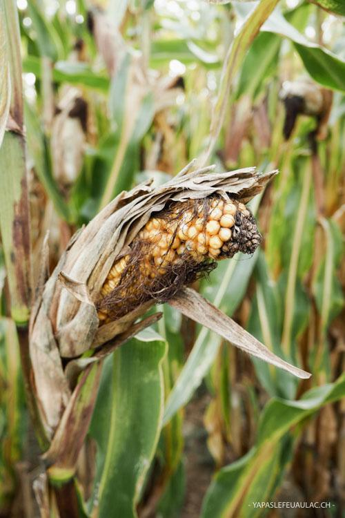 Dans les champs de maïs