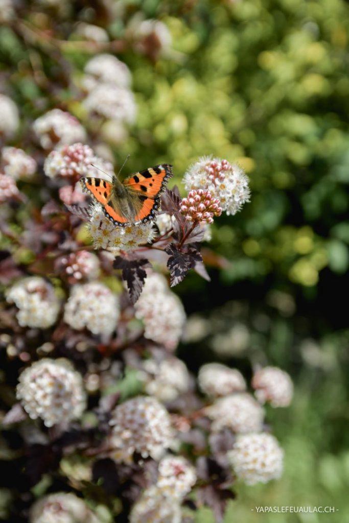 Un papillon butine - balade nature au pied du Ballon d'Alsace