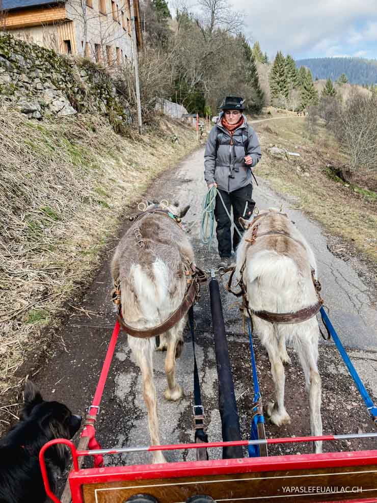 Balade tiré par les rennes chez Chemins du Nord dans les Vosges