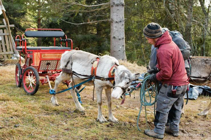 Activités avec les rennes chez Chemins du Nord dans les Vosges