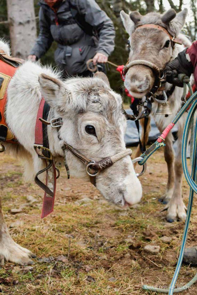 Des rennes en Alsace à La Petite Finlande / Chemins du nord