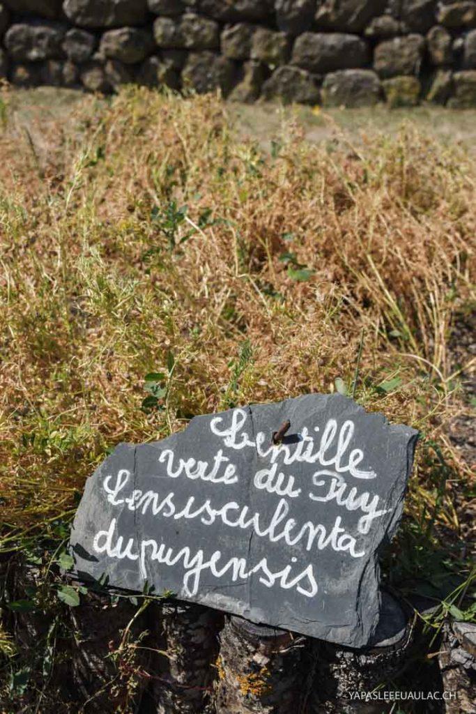 La plante! Lentilles vertes du Puy en Velay